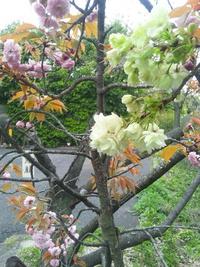 宇多野の桜