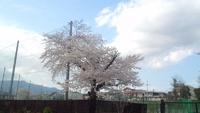 やっぱり、学校と桜はよく似合う