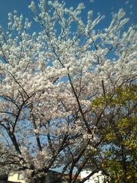 桜が綺麗に