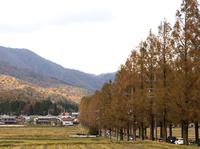 秋の並木道 (高島市・マキノ高原・メタセコイア並木)
