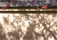 壁モミジ (大徳寺・黄梅院)