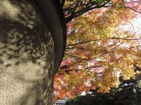 壁もみじ (東福寺付近)