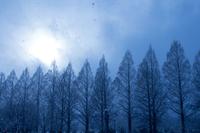 東山魁夷の絵のようなブリーな世界 (マキノ・メタセコイア並木)