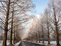 雪晴れの並木道 (マキノ・メタセコイア並木)