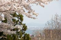 琵琶湖に咲く桜 (大津・皇子が丘公園)
