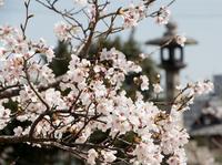港を想って咲く桜 (草津・矢橋公園(矢橋港跡))