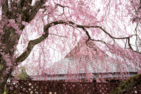 ひっそりと咲く有名な桜  (右京区京北上中町)