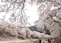 桜・さくら・サクラ♪ (甲賀市土山町・鮎河の千本桜)