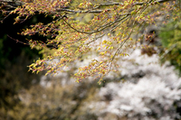 モミジの誕生 (滋賀県・根本中堂)