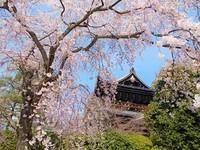 「 桜さんぽ 」のお知らせ