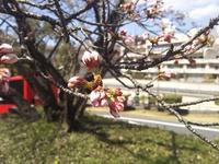 今年は寒さが長引き、桜の開花が…