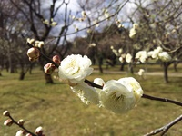 梅の花咲く「 二条城 」と「 京都御苑 」へ