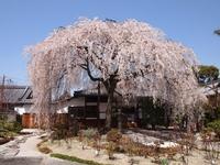 3/30~4/15 ≪ 17日間連続開催 桜さんぽ ≫