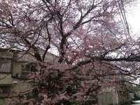 今年も桜の季節が…