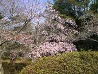 桜、信楽編