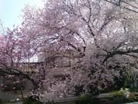 先日の桜が…