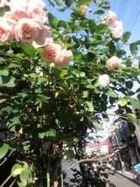 玄関の薔薇の