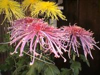 スッゴイ菊