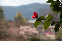 いろんな花が梅と饗宴 (梅宮大社)