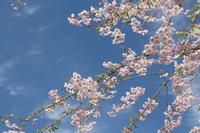 青空と桜 (京北・宝泉寺)