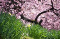 色彩の季節 (右京・春日神社黒田百年桜)