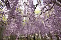 砂ずりの藤の花 (滋賀草津・三大神社)