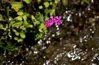 小川の流れに咲く (大原の里)