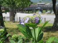 嵐山の紫陽花 (嵐山・渡月橋)