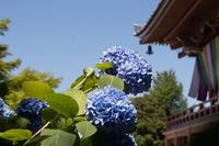 雨の恋しい紫陽花たち (智積院)