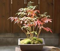 盆栽の秋!ハゼの紅葉♪