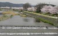 賀茂川堤の桜を訪ねて!