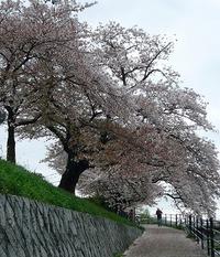 花便り 高野川と御所の桜♪