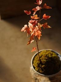 ミニ盆栽と苔玉の紅葉