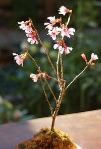 苔玉のミニ桜と、クリスマスローズ♪