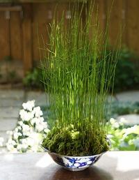 元気な姿の、苔玉とミニ盆栽!