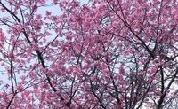 花便り 京都府立植物園の桜♪