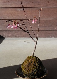 苔玉の桜 咲く♪