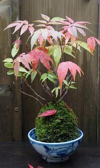 小さな秋 苔玉とミニ盆栽の紅葉