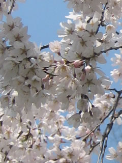 京都御所桜2008、京都で一番桜好きで舞い上がっているブログ。