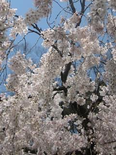 春景色、桜色。京都で一番春のはじまりを喜ぶブログ。