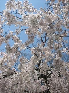 桜景色が京都に広がる。京都で一番花より団子なブログなんですけどね。