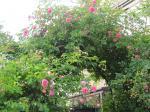 艶やかな蔓薔薇
