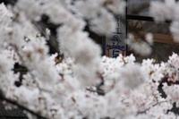 仁丹のある風景 ~桜~