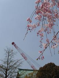 しだれ桜 2014