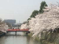 京都の桜 4 岡崎疎水沿いの桜