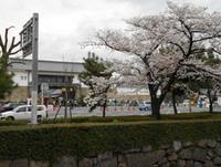 メルマガ402号「二条城の桜」1