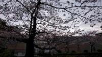 京都の桜情報