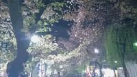 高瀬川界隈の桜