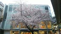京都の最新桜情報 3