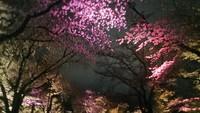最新の京都桜情報6